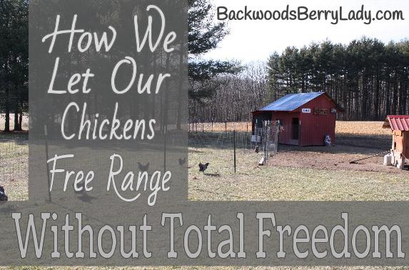How We Let Our Chickens Free Range Without Total Freedom (3)