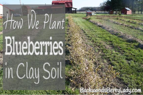How We Plant Blueberries in Clay Soil