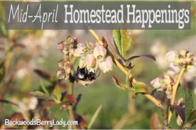 Mid-April Homestead Happenings