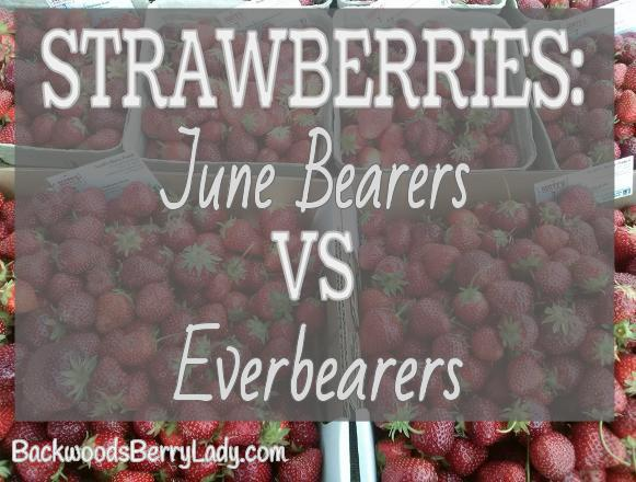 Strawberries- June Bearers VS Everbearers (2)